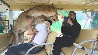 ЛЕВ В ДЕЛЕ! Чудо Зоопарк Львы добрые как КОТЯТА Самые добрые дикие КОШКИ в Мире и ДРУГИЕ ЖИВОТНЫЕ